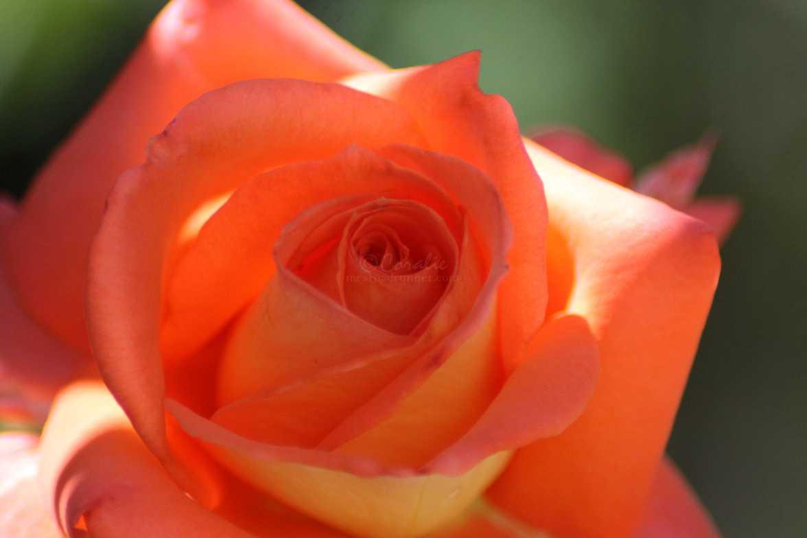 rose flower 002