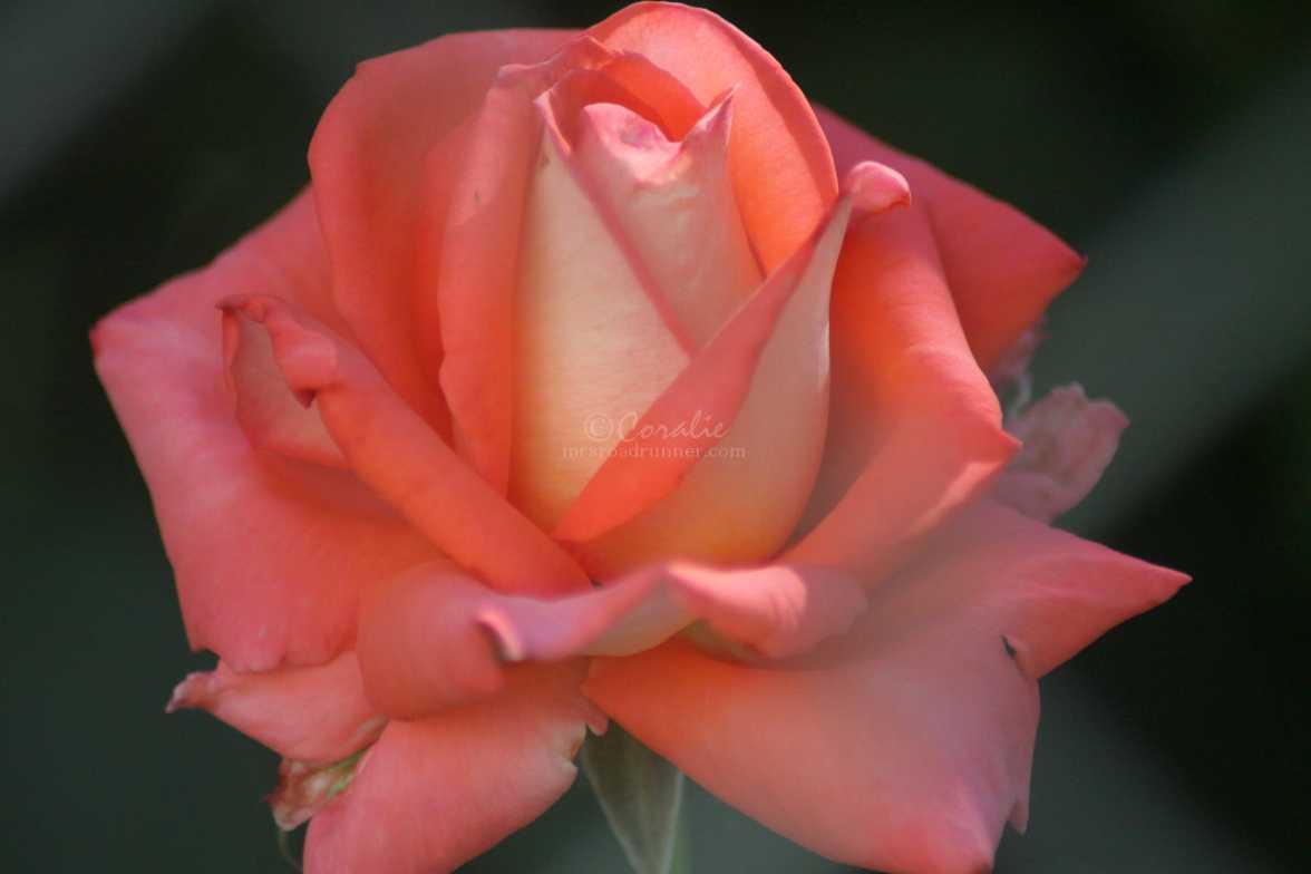 rose flower 007