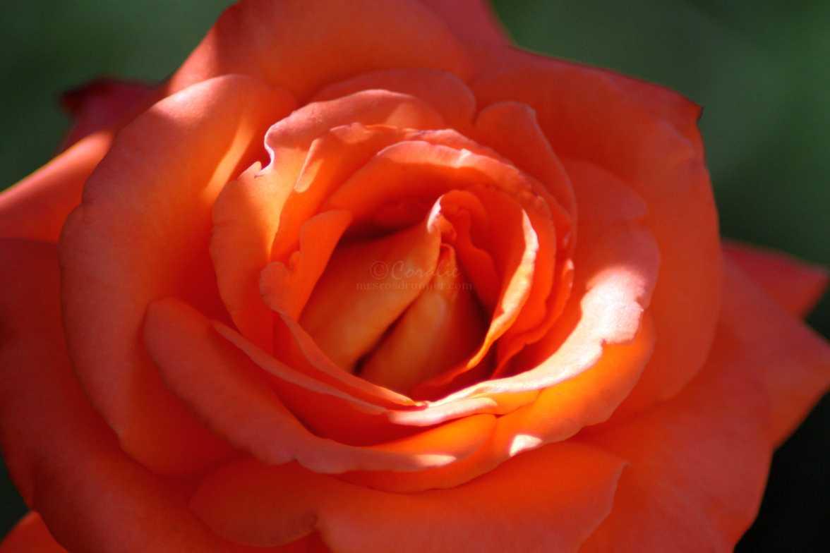 rose flower 037