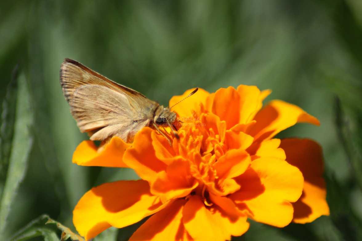 skipper butterfly 2994