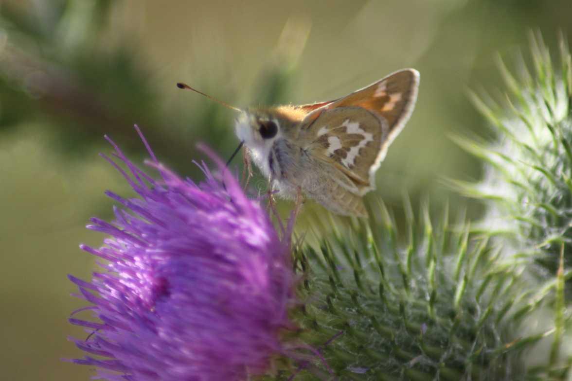 skipper butterfly feeding 1435
