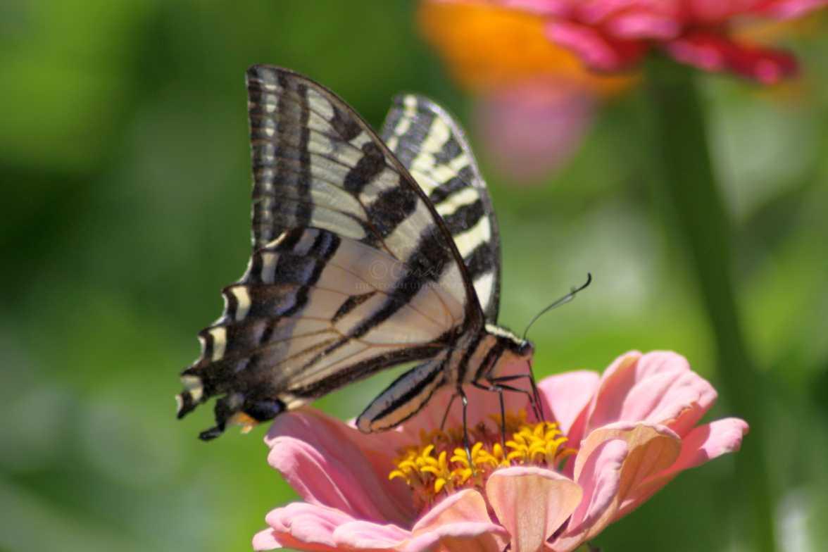 swallowtail butterfly 091