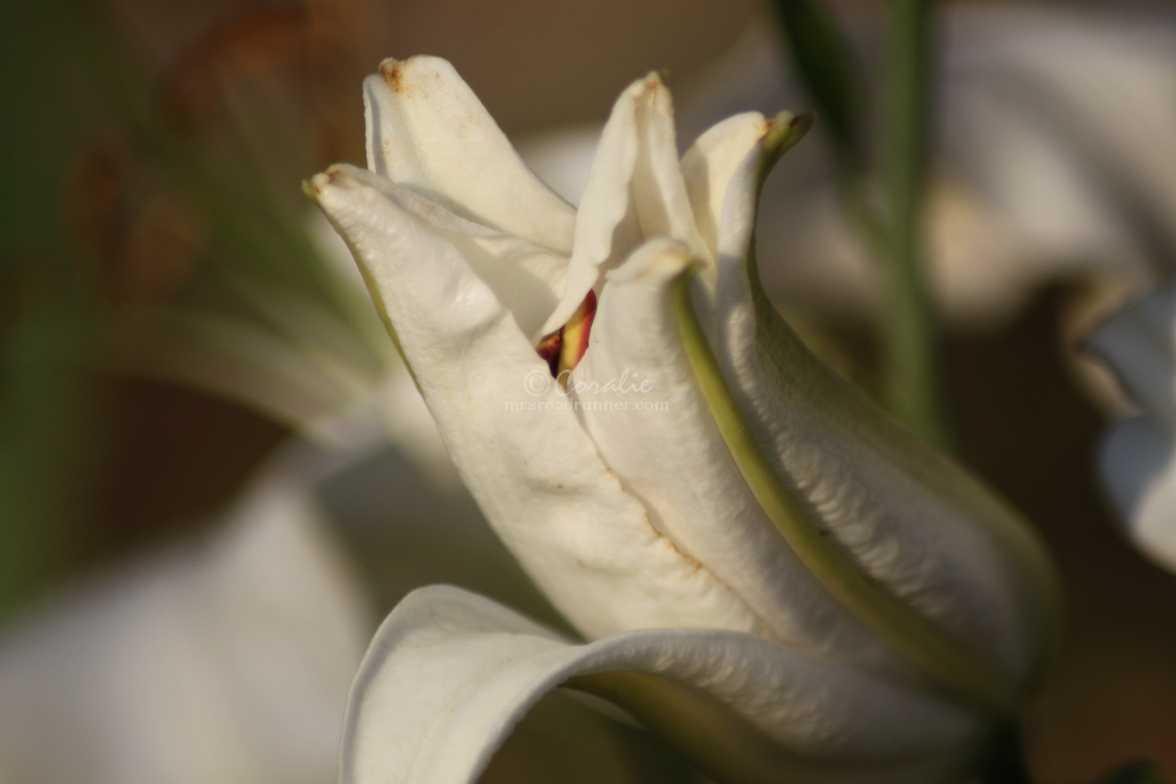 white lily flower bud 082