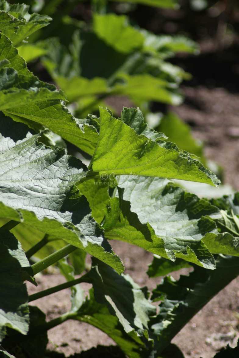 zucchini in the garden 1114