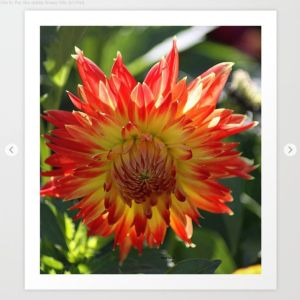 Fire In The Sky dahlia flower 096 Art Print