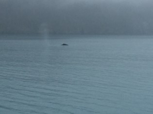 Humpback whale traveling next to us.
