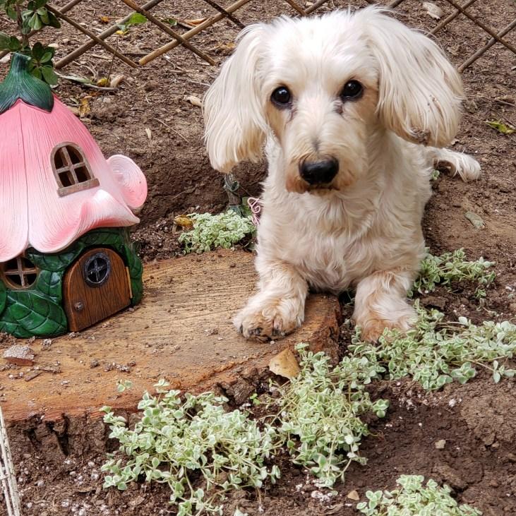 Mr. Murray Mini Doxie In The Mini Garden