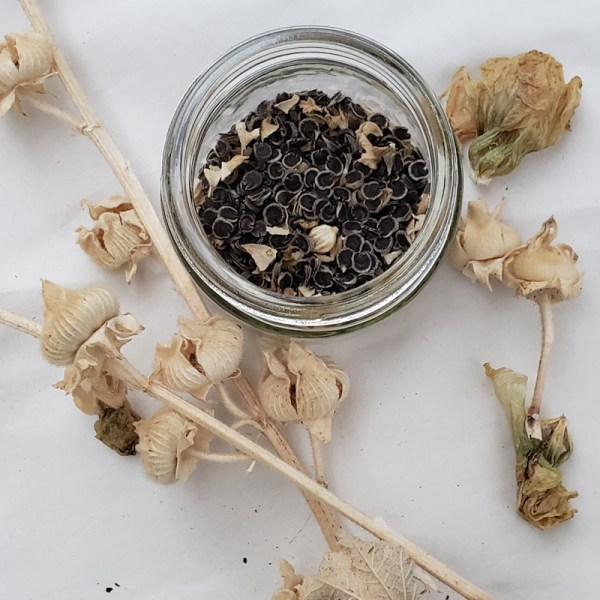 Hollyhock seeds are easy to gather for next year's beauty!