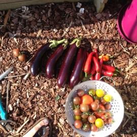 aubergines galore
