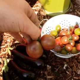 een siamese tomaat uit de moestuin