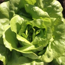 salad sla lettuce october oktober moestuin allotment
