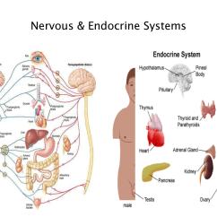 Endocrine System Diagram Blank Venn 3 Circles Mrs Smith 39 S Biology