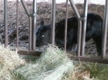 One month old black angus calf standing by hay in manger.