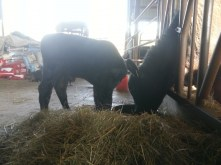 Baby black angus eating with larger calf