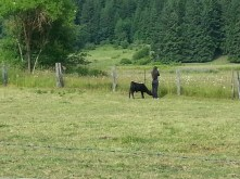 Baby black angus following photographer in field.