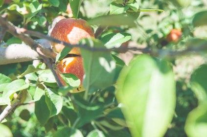 apples-33