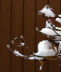 Dogwood buds in winter