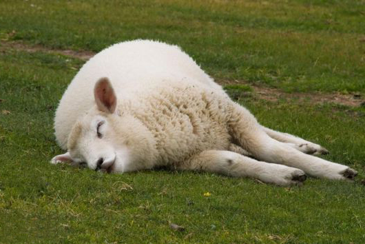 White sheep asleep on grass