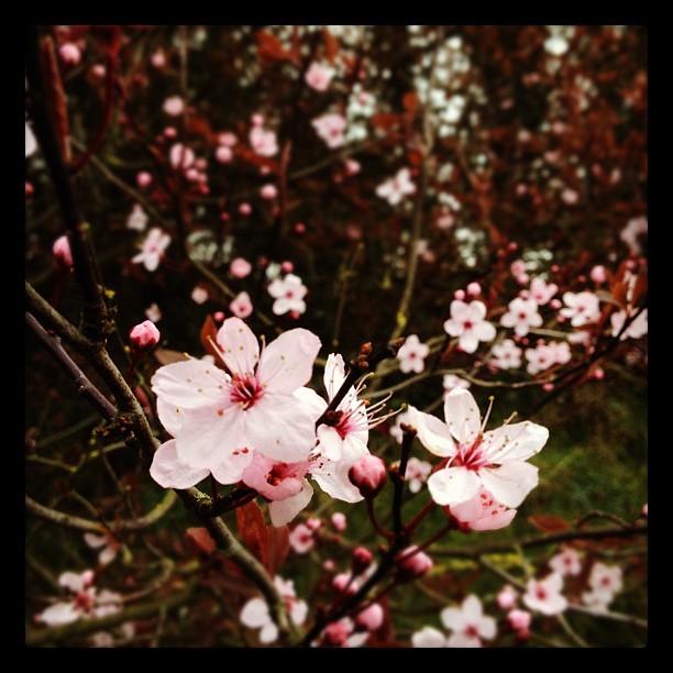 20120308 Tree blossoms
