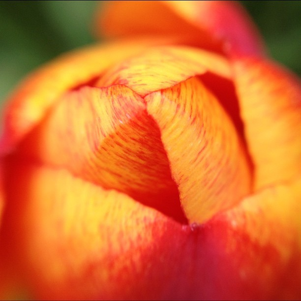 20120408 Easter tulip