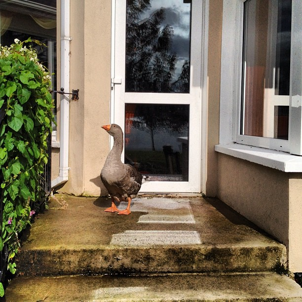 20120825 Harveys goose