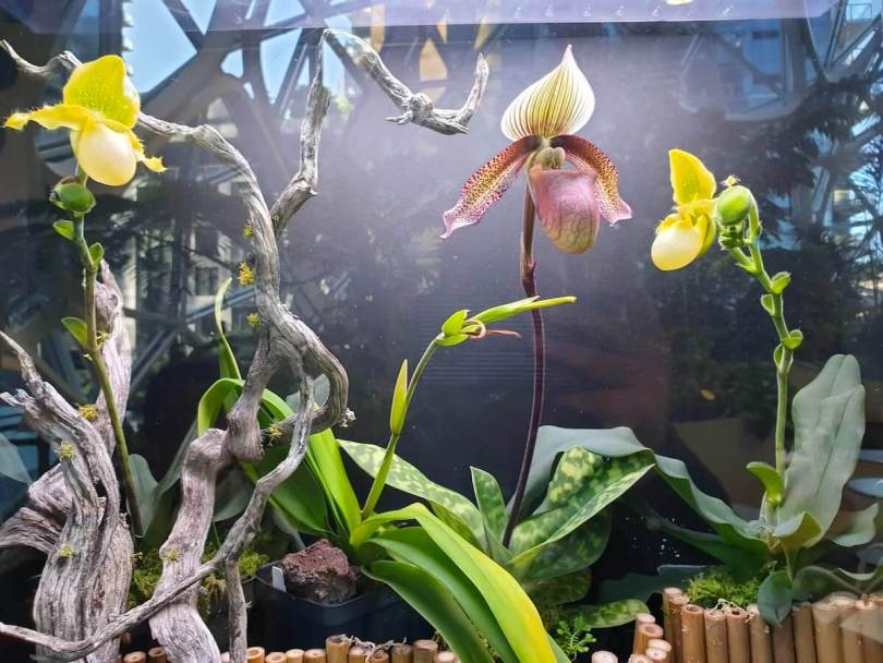 lady's slipper orchids 20190611_175220.jpg