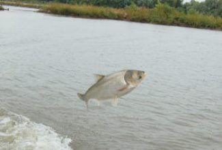 A 14-pound silver carp goes airborne. Noise or vibrations from outboard motors appears to trigger jumping. Angler reports of these fish jumping into boats are increasing.