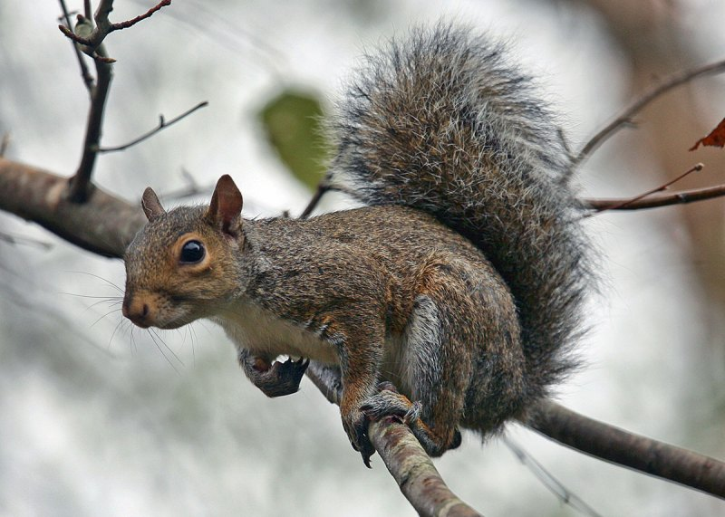 The common cat squirrel, with a head about the size of a golf ball, presents a challenging target for even the most skilled marksman. Squirrel hunting is considered an excellent introduction to hunting and outdoor woodcraft for beginners of any age.