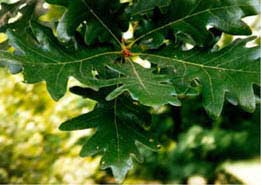 [photo, Leaves of White Oak, Anne Arundel County, Maryland]