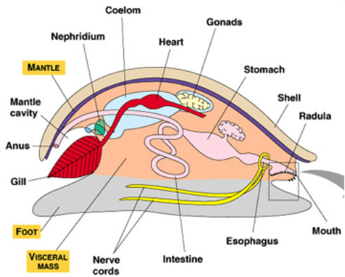 mollusca diagram labeled 2007 ford f150 power window wiring ms anderson s zoology class an error occurred