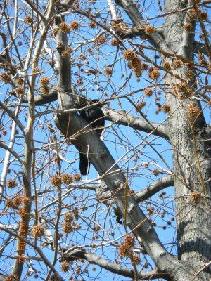 """A lot of crows perch on tree. Its sounds makes me feel lonely in my """"alone"""" trip. Koaaaak.. koaaakk.."""