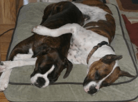 Boxer Dog Beds: Which Are the Best? - Msboxer.com