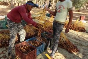 مخاوف الكساد تراكم الضغوط على منتجي التمور في تونس
