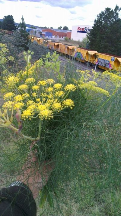 Me holding up a posie of wild fennel - it was growing next to the road near a railway line in an industrial suburb.