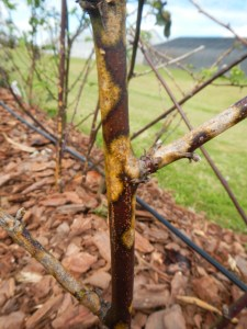 Blackberry Diseases  Mississippi Fruit and Nut Blog