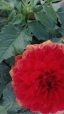 Flower from my garden