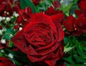 Rosa, la flor de febrero