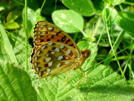 Underside of wings of the Dark Green Fritillary