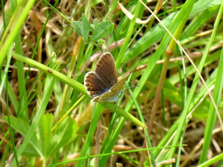 Female Silver-studded Blue Butterfly
