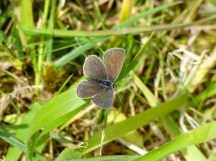 Female Small Blue Butterfly