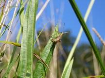 Cricket / grasshopper