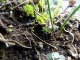 Rock Stonecrop (Sedum forsterianum)