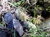 Perennial knawel (Scleranthis perennis), looking very worse for wear