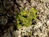 Unknown but potentially interesting liverwort