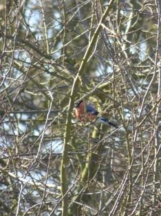 Male Bullfinch (Pyrrhula pyrrhula)