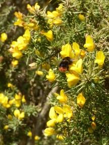 Red-tailed Bumblebee, Bombus lapidarius