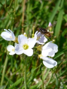 Hoverly (Syrphidae) taking off from a Cuckooflower (Cardamine pratensis, also known as Lady's-Smock)