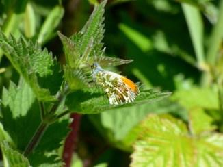 Male Orange-tip butterfly, Anthocharis cardamines