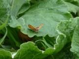 Small Copper, Lycaena phlaeas
