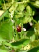 Bee Orchid (Ophrys apifera) at RSPB Radipole Lake